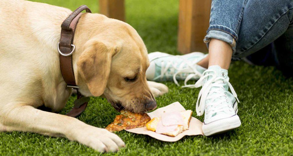 alimentos prohibidos maternity perros labradores